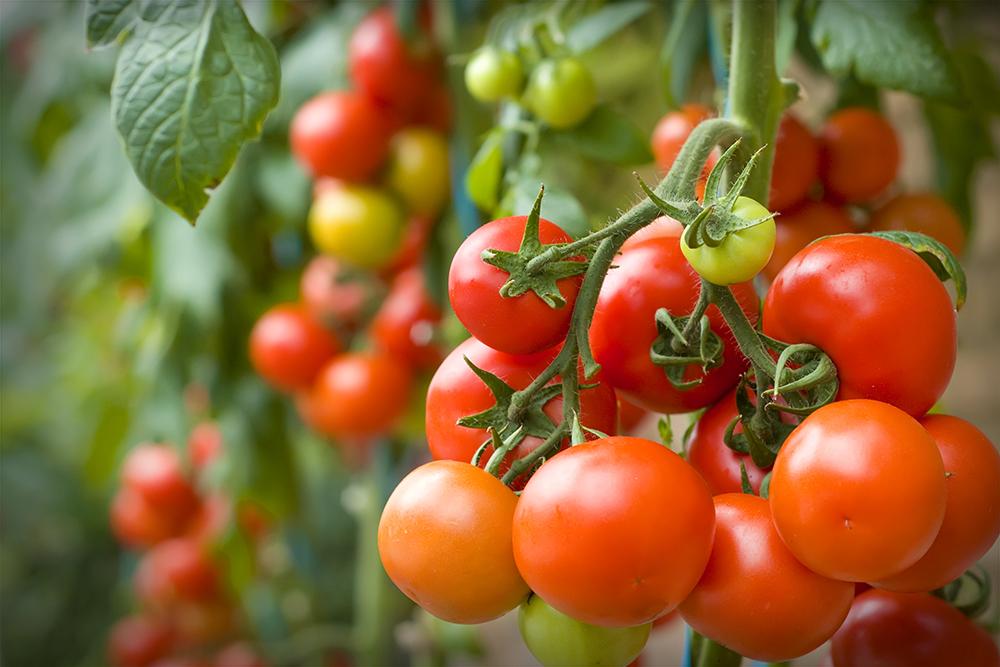 nachhaltige Tomatenbepflanzung